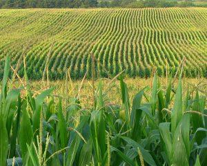 corn_plant