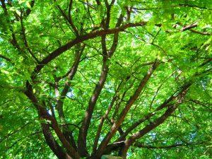 tamarind_tree