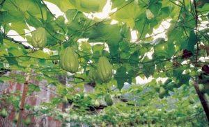 chayote plant