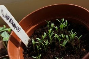 coriander_sprouts