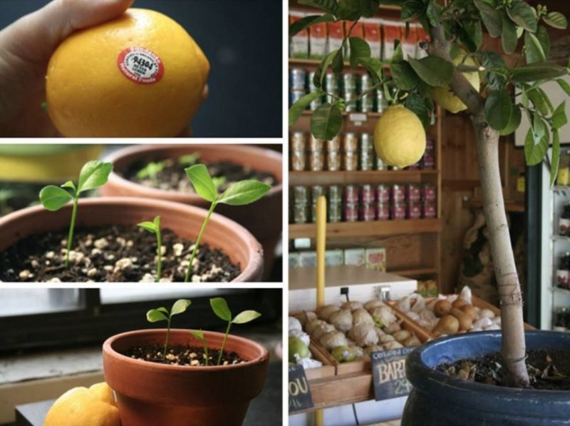 Grow Lemon Tree from Seeds Indoors