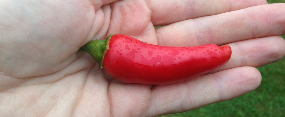 how-to-grow-chillies-ripe-chilli
