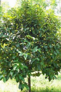 mangostee-tree