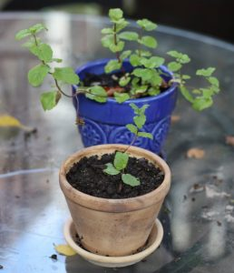regrowing-mint-from-cuttings