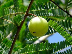 health-benefit-of-gooseberry