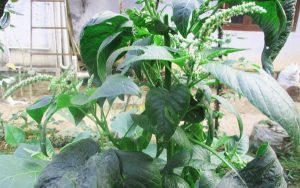 mullancheera-prickly-amaranthus