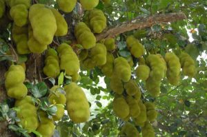 benefits-of-jackfruit-and-seeds-for-healthy-body