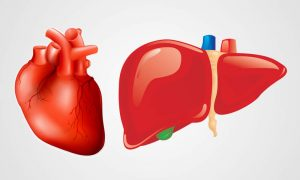 heart-and-liver