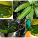 Boiled Mango Leaves