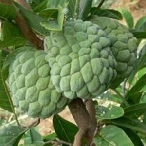 fruit-seeds-graviola-font-b-soursop-b-font-guanabana-annona-muricata-tropical-seed-1pcs-lot