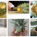 How to grow your own Pineapple