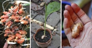 how-to-grow-endless-supply-of-alkalizing-anti-inflammatory-ginger-turmeric-and-garlic-at-home