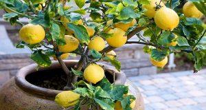 lemon-tree-container-550x364