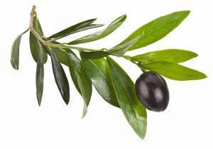 oliveLeaf4