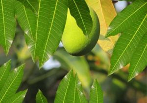 thumb-health-benefits-of-mango-leaves-stylenrich