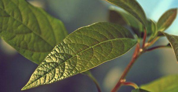 Leaves-Avocado-600x312