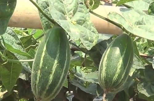 Growing-Pointed-Gourd-Vegetable.-500x330