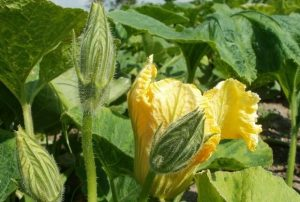 Nutritional-Content-Of-Pumpkin-Leaves
