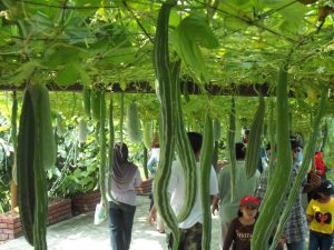 Trichosanthes cucumerina511