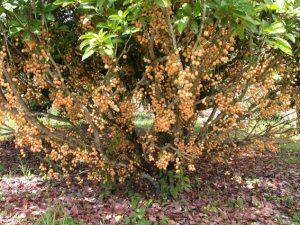 baccaurea-ramiflora-tree-72