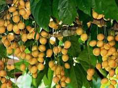 burmese-grape-3