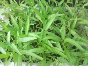 kangkong (water spinach)
