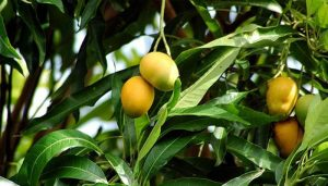 mango-leaves-tea-cure-diabetes_45_1