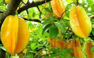 Star-Fruit-Farming