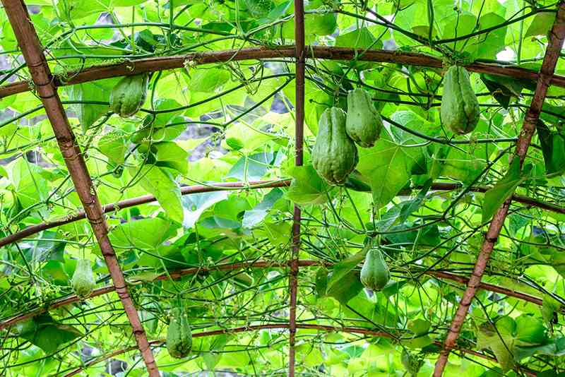 chayote-rigs