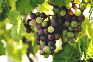 grapes-1246531_1280-e1490372026182