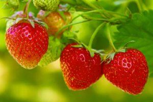 strawberries-in-the-garden-e1464102562544
