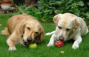 Dogs-eating-apples