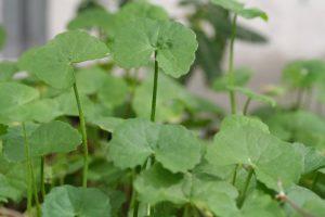 de-nouvelles-ressources-moleculaires-pour-l-etude-d-une-plante-medicinale-centella-asiatica