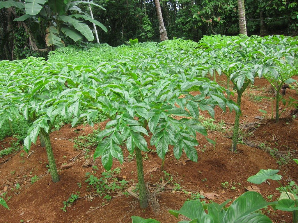 plant-of-elephant-foot-yam
