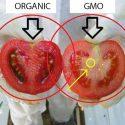 မ်ိဳးရိုးဗီဇ ျပဳျပင္ထားတဲ့ အစားအစာႏွင့္ ေအာဂန္းနစ္ အစားအစာ (organic food) ကို လြယ္လြယ္ကူကူနဲ႔ ခြဲျခားနည္း