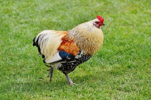 hahn_wildpark_poing_pride_bill_beautiful_feather_nature_poultry-809968.jpg!d