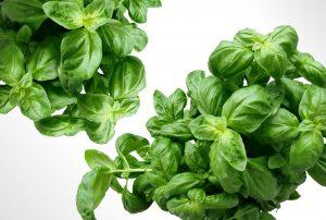 Plant Herbs Mediterranean Leaves Basil Green