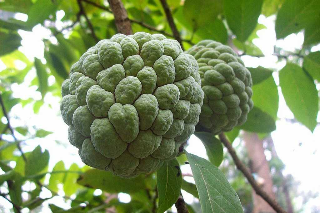 Sugar-apple-sweetsop