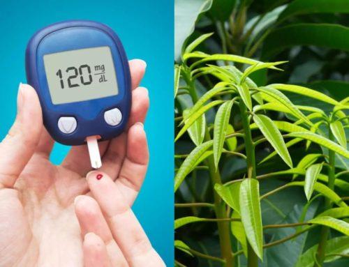 ဆီးချိုရောဂါကို ကုသပေးနိုင်တဲ့ သရက်သီးအရွက်